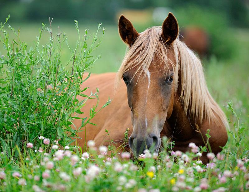 heste på græs